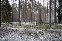 Las po lekkiego opadu śniegu obraz stock