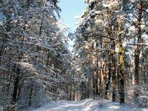 Las pod osłoną śniegu podczas zima słonecznego dnia obraz royalty free