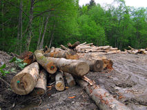 las pokrojone widział drewna Fotografia Royalty Free