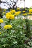 Las porciones de maravilla hermosa florecen en el jardín imagen de archivo