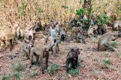 Las porciones de monos se aterraron salto y movimiento de la precipitación en el bosque Imagenes de archivo