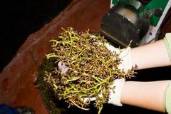 Las porciones de uvas se reclinan (rapujo) después de descascar Fotografía de archivo