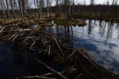 Las presas del castor llenadas de agua reflejan las nubes en el cielo Foto de archivo