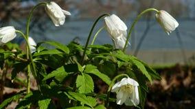 Las primaveras de Snowdrops florecen por el camino metrajes