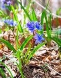 Las primeras flores - azafranes. Imagen de archivo libre de regalías