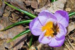 Las primeras flores de la primavera Fotografía de archivo libre de regalías