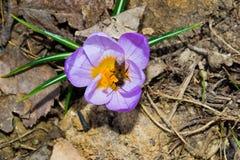 Las primeras flores de la primavera Fotos de archivo libres de regalías
