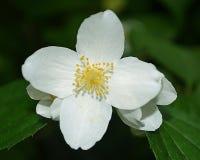 Las primeras flores de la primavera Imagen de archivo