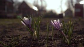 Las primeras flores de la primavera en el jard?n Snowdrops en el fondo del jard?n 4K metrajes