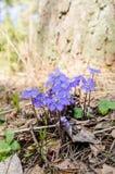 Las primeras flores de la primavera en una madera Foto de archivo