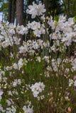 Las primeras flores de la primavera de los rododendros blancos Resorte temprano imagen de archivo