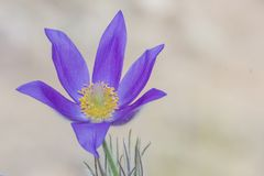 Las primeras flores de la primavera Primavera violeta del bosque Fotografía de archivo