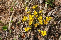 Las primeras flores de los snowdrops de la primavera en el bosque se rompen a través de hierba seca del ` s del año pasado Foto de archivo libre de regalías
