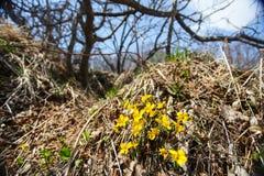 Las primeras flores de los snowdrops de la primavera en el bosque se rompen a través de hierba seca del ` s del año pasado Fotos de archivo libres de regalías