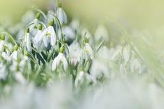 Las primeras flores del snowdrop Foto de archivo libre de regalías