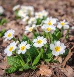 Las primeras flores en las hojas Fotos de archivo libres de regalías