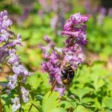 Las primeras flores salvajes violetas del bosque y manosean la abeja Foto de archivo libre de regalías