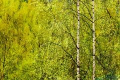 Las primeras hojas abiertas en madera de abedul Fondo con los árboles de abedul Fotos de archivo