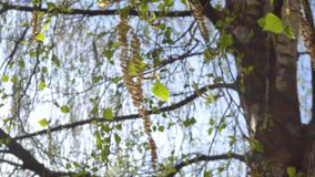 Las primeras hojas del verde de la primavera del abedul en el sol metrajes