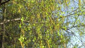 Las primeras hojas del verde de la primavera del abedul en el sol almacen de metraje de vídeo
