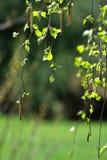 Las primeras hojas del verde de mayo Fotos de archivo libres de regalías
