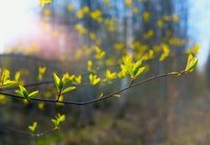 Las primeras hojas en la rama Fotografía de archivo libre de regalías
