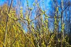 Las primeras hojas en los árboles Fotografía de archivo libre de regalías
