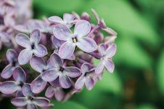 Las primeras lilas Foto de archivo libre de regalías