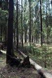 Las profundidades del bosque del pino de un bosque viajan a través de las trayectorias de bosque T Fotografía de archivo libre de regalías