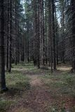 Las profundidades del bosque del pino de un bosque viajan a través de las trayectorias de bosque T Imagen de archivo libre de regalías