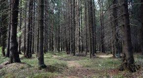 Las profundidades del bosque del pino de un bosque viajan a través de las trayectorias de bosque T Foto de archivo libre de regalías