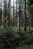 Las profundidades del bosque del pino de un bosque viajan a través de las trayectorias de bosque T Fotografía de archivo
