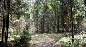 Las profundidades del bosque del pino de un bosque viajan a través de las trayectorias de bosque T Foto de archivo