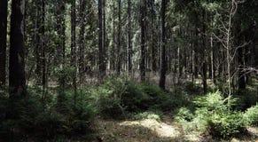 Las profundidades del bosque del pino de un bosque viajan a través de las trayectorias de bosque T Imagen de archivo