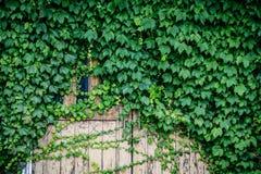 las puertas de madera viejas fueron bloqueadas por las hojas verdes Fotos de archivo