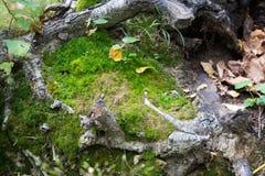 Las raíces de árboles en la tierra con el musgo Fotografía de archivo