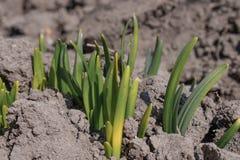 Las raíces de flores germinan con zamly Las flores crecen en primavera imagen de archivo