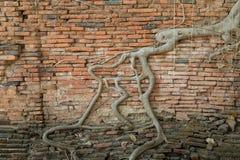 Las raíces de la pared de ladrillo vieja Fotografía de archivo
