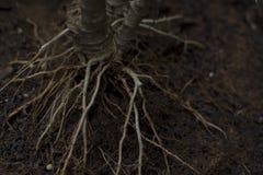 Las raíces de los árboles en la tierra Imagenes de archivo