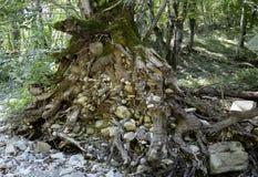 Las raíces de un árbol Imagenes de archivo