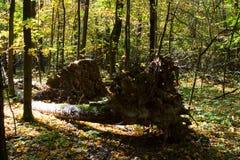 Las raíces de un árbol caido en un bosque Foto de archivo