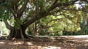 Las raíces de un árbol grande Fotografía de archivo libre de regalías