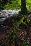 Las raíces del árbol cubrieron el musgo Imágenes de archivo libres de regalías