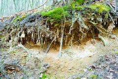 Las raíces del árbol en bosque estiraron hacia fuera en la tierra imagenes de archivo