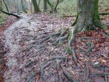 Las raíces del carpe en las hojas caidas Fotos de archivo libres de regalías