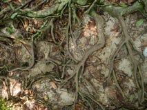 Las ra?ces de un ?rbol tropical imagen de archivo