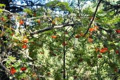 Las ramas con la ceniza madura, roja siberia Imagen de archivo
