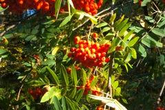Las ramas con la ceniza madura, roja siberia Imagenes de archivo