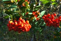 Las ramas con la ceniza madura, roja siberia Fotos de archivo libres de regalías