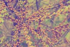 Las ramas con la primavera floreciente florecen el fondo teñido púrpura Foto de archivo